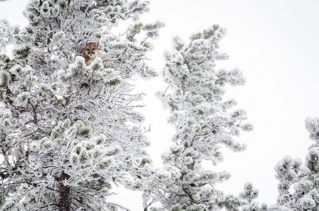 Một con sư tử núi đang ẩn mình trong tán cây bị tuyết phủ trắng.