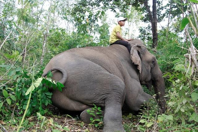 Có 8 voi nhà bị thương do voi rừng tấn công