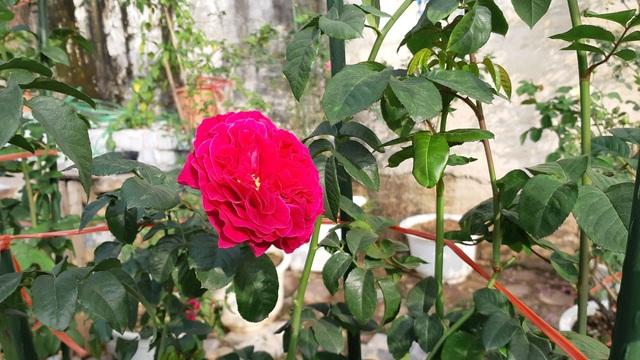 Đại gia chơi Tết: Đào cổ thụ trăm triệu/gốc, hoa hồng ngoại chục triệu đồng/chậu - 4