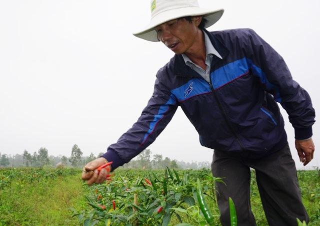Trồng ớt trái vụ đón Tết, nông dân thu gần 1 triệu đồng mỗi ngày - 1