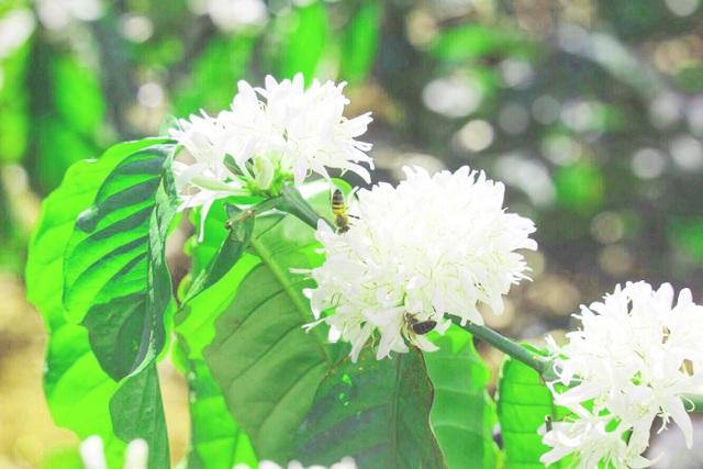 """Xuân về ngắm hoa tuyết"""" phủ trắng Tây Nguyên  - 7"""