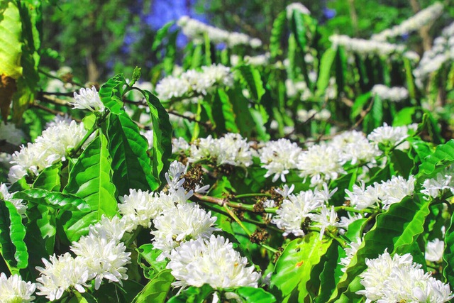 """Xuân về ngắm hoa tuyết"""" phủ trắng Tây Nguyên  - 3"""