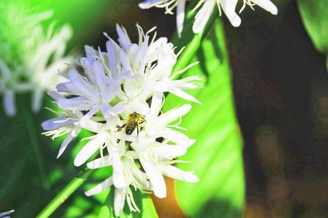 """Xuân về ngắm hoa tuyết"""" phủ trắng Tây Nguyên  - 4"""