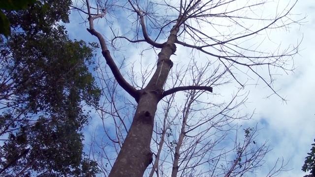 Hàng loạt cây cao su bị khoan lỗ, chết dần - 2