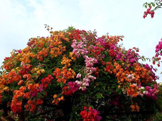 Những loại hoa nhập ngoại được ưa chuộng dịp Tết năm nay - 8