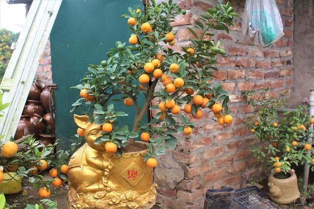 Heo vàng ôm rất nhiều dáng quất bonsai.