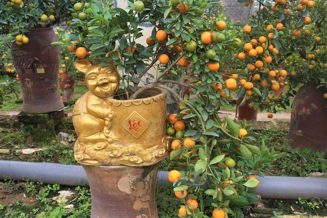 Quất bonsai trong chậu heo vàng có đủ quả chín, quả xanh, lộc và hoa.