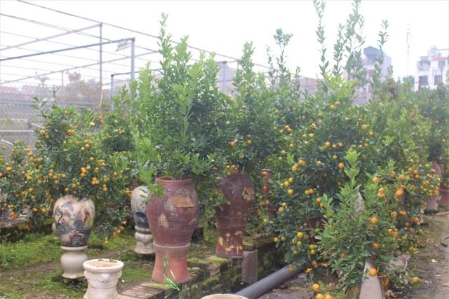 Ngoài ra, tại làng quất Tứ Liên cũng có loại quất bonsai trồng trong bình gốm.