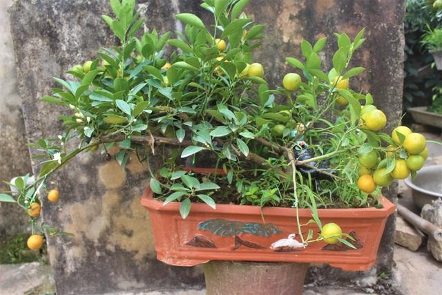 Hoặc những chậu quất bonsai loại nhỏ hơn để đặt trên bàn.