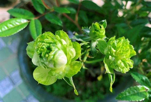 Rộ mốt chưng Tết hoa hồng xanh Đà Lạt giá bạc triệu - 3