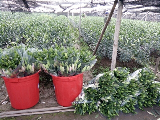 Hoa ly o Tay Tuu  - Ha Noi.