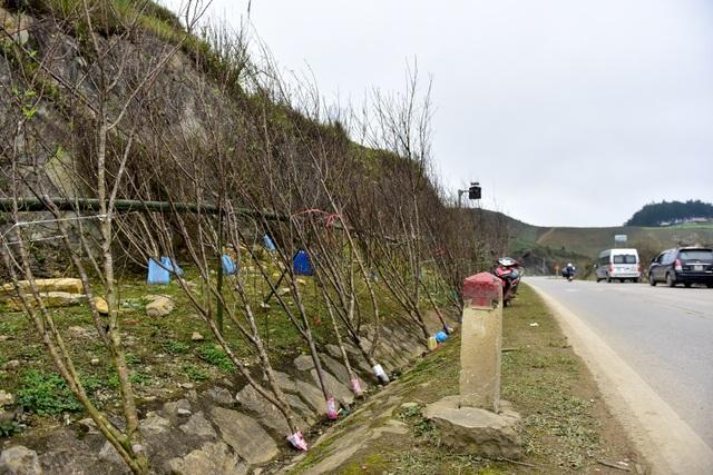 Đào rừng Sơn La bán tràn lan trên quốc lộ 6 chờ về Tết miền xuôi - 2