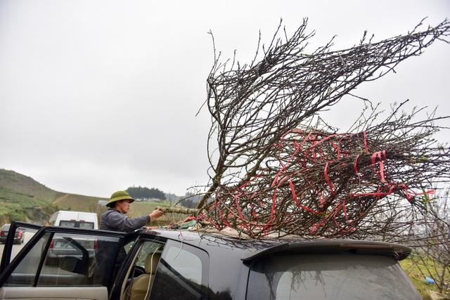 Đào rừng Sơn La bán tràn lan trên quốc lộ 6 chờ về Tết miền xuôi - 12