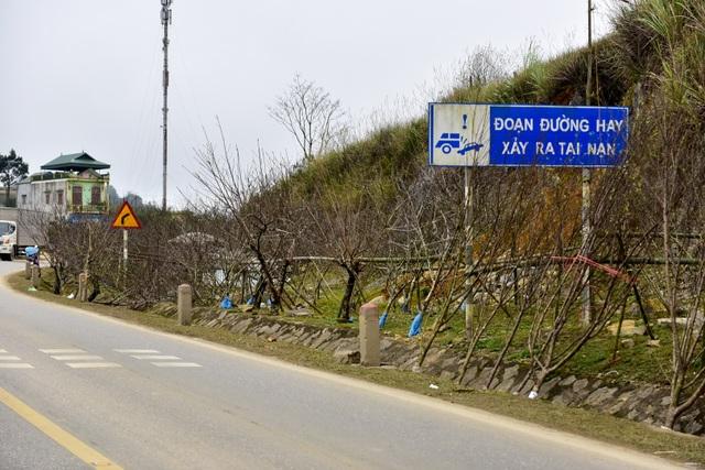 Đào rừng Sơn La bán tràn lan trên quốc lộ 6 chờ về Tết miền xuôi - 3
