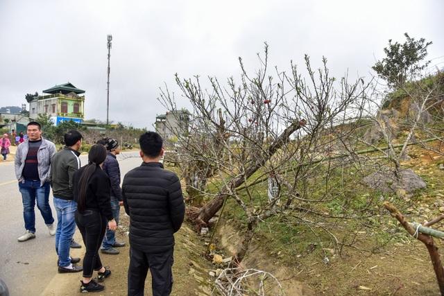Đào rừng Sơn La bán tràn lan trên quốc lộ 6 chờ về Tết miền xuôi - 7