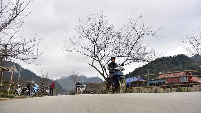 Đào rừng Sơn La bán tràn lan trên quốc lộ 6 chờ về Tết miền xuôi - 11