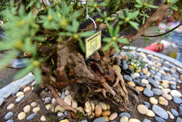 Đỗ quyên bonsai hàng khủng giá gần tỷ đồng chưng Tết ở Hà Nội - 8