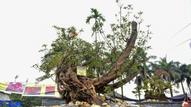 Đỗ quyên bonsai hàng khủng giá gần tỷ đồng chưng Tết ở Hà Nội - 2