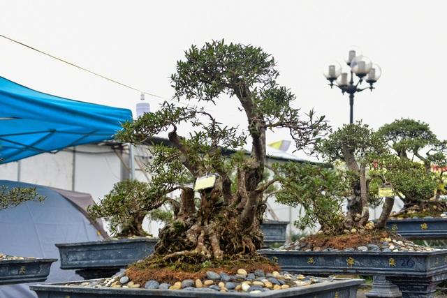 Đỗ quyên bonsai hàng khủng giá gần tỷ đồng chưng Tết ở Hà Nội - 5