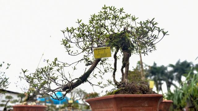 Đỗ quyên bonsai hàng khủng giá gần tỷ đồng chưng Tết ở Hà Nội - 12