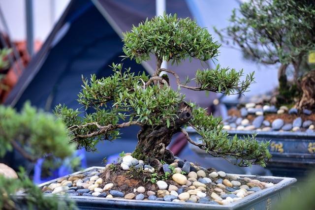 Đỗ quyên bonsai hàng khủng giá gần tỷ đồng chưng Tết ở Hà Nội - 6