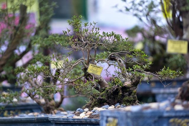 Đỗ quyên bonsai hàng khủng giá gần tỷ đồng chưng Tết ở Hà Nội - 14