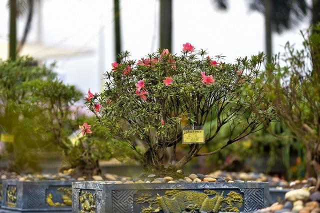 Đỗ quyên bonsai hàng khủng giá gần tỷ đồng chưng Tết ở Hà Nội - 7