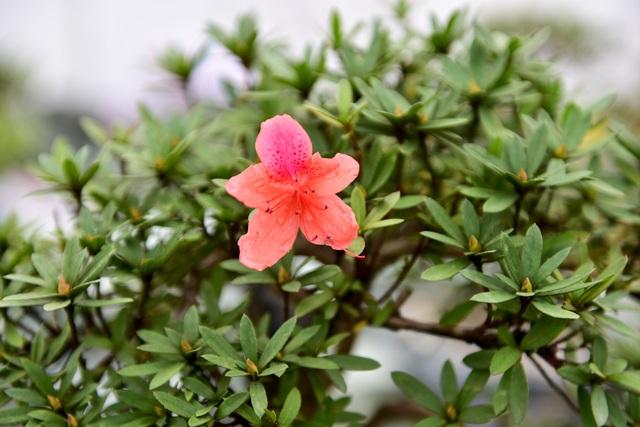 Đỗ quyên bonsai hàng khủng giá gần tỷ đồng chưng Tết ở Hà Nội - 3