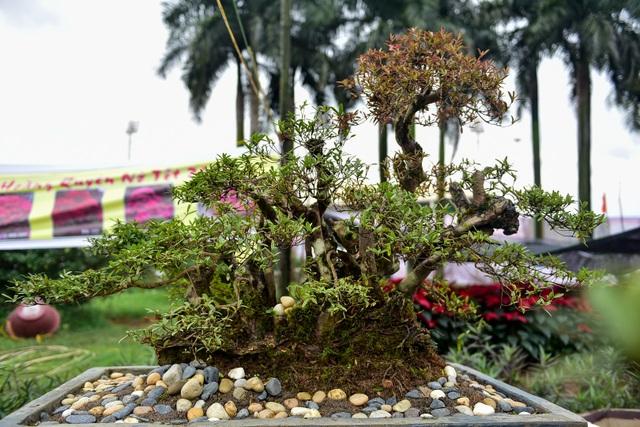 Đỗ quyên bonsai hàng khủng giá gần tỷ đồng chưng Tết ở Hà Nội - 4