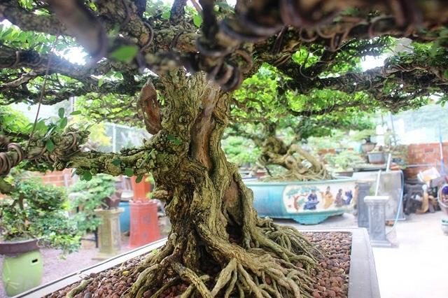 Bonsai cổ thụ dáng cực lạ giá cả trăm triệu ngóng đại gia dịp Tết - 10