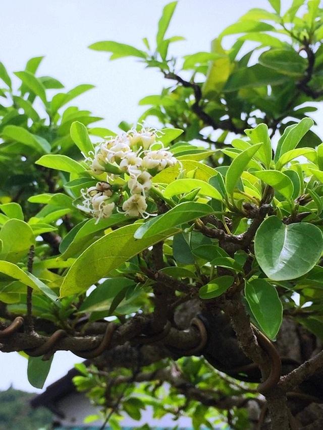 Bonsai cổ thụ dáng cực lạ giá cả trăm triệu ngóng đại gia dịp Tết - 4