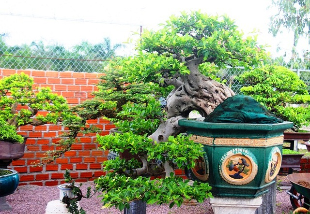 Bonsai cổ thụ dáng cực lạ giá cả trăm triệu ngóng đại gia dịp Tết - 6