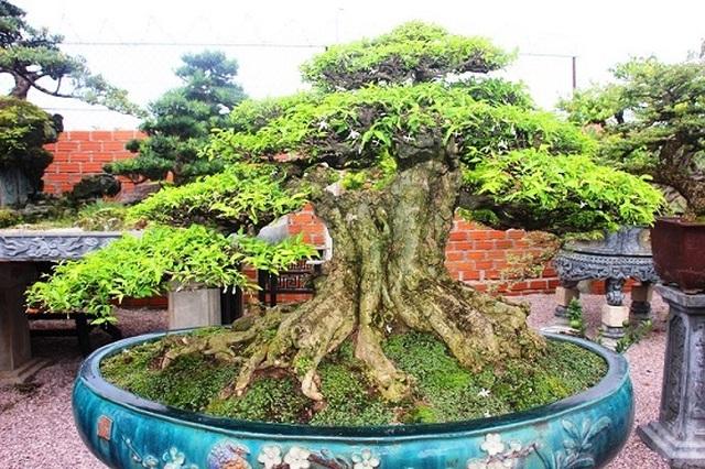 Bonsai cổ thụ dáng cực lạ giá cả trăm triệu ngóng đại gia dịp Tết - 8