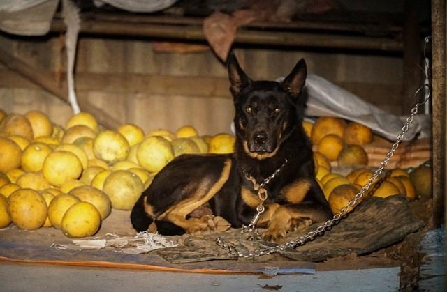 Dân trồng bưởi Diễn thả chó, thức trắng đêm chống trộm - 6
