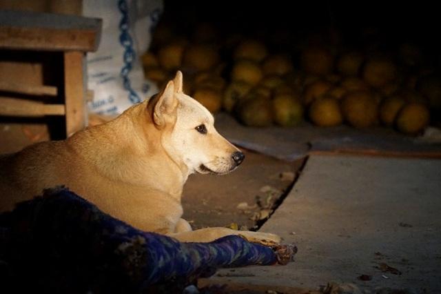 Dân trồng bưởi Diễn thả chó, thức trắng đêm chống trộm - 7
