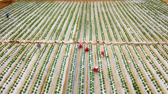 Sống ảo tại vườn dâu tây lớn nhất miền Bắc - 2