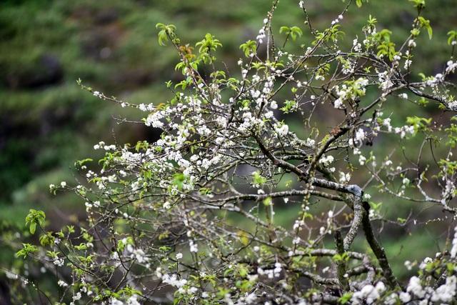 Thung lũng hoa mận Mộc Châu bung nở trước Tết Nguyên đán - 7