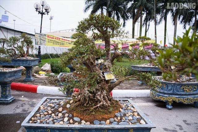 Độc lạ cây đỗ quyên 400 năm tuổi, được quát giá gần 1 tỉ đồng tại Hà Nội    - 1