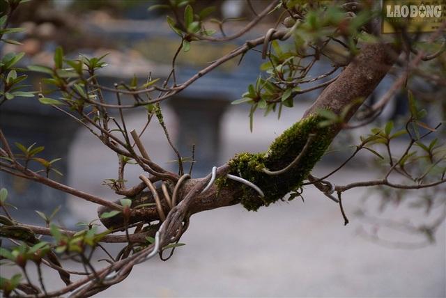 Độc lạ cây đỗ quyên 400 năm tuổi, được quát giá gần 1 tỉ đồng tại Hà Nội    - 12