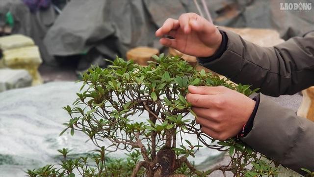 Độc lạ cây đỗ quyên 400 năm tuổi, được quát giá gần 1 tỉ đồng tại Hà Nội    - 3