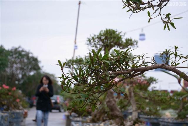 Độc lạ cây đỗ quyên 400 năm tuổi, được quát giá gần 1 tỉ đồng tại Hà Nội    - 4