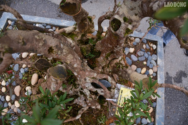 Độc lạ cây đỗ quyên 400 năm tuổi, được quát giá gần 1 tỉ đồng tại Hà Nội    - 5