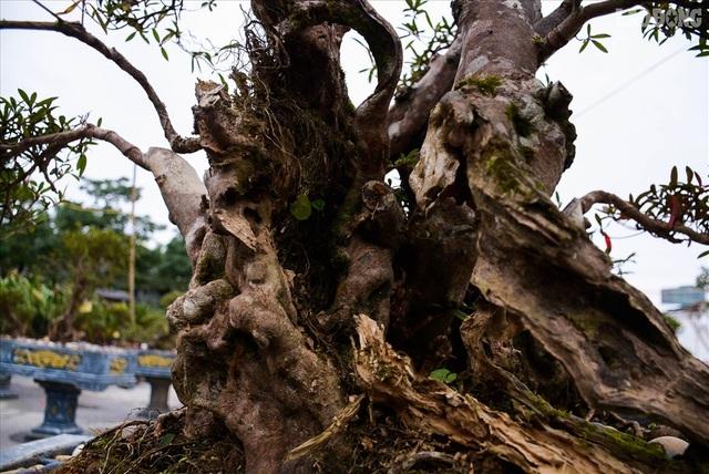 Độc lạ cây đỗ quyên 400 năm tuổi, được quát giá gần 1 tỉ đồng tại Hà Nội    - 6