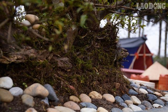 Độc lạ cây đỗ quyên 400 năm tuổi, được quát giá gần 1 tỉ đồng tại Hà Nội    - 7