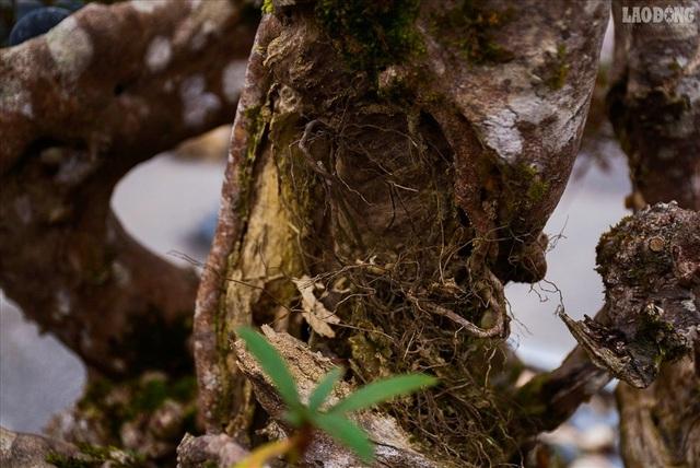 Độc lạ cây đỗ quyên 400 năm tuổi, được quát giá gần 1 tỉ đồng tại Hà Nội    - 8