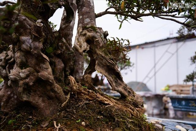 Độc lạ cây đỗ quyên 400 năm tuổi, được quát giá gần 1 tỉ đồng tại Hà Nội    - 9