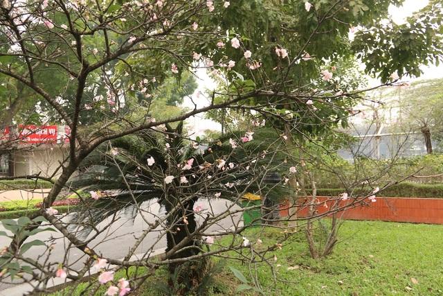 Ngắm hoa anh đào bung nở rực rỡ, khoe sắc trước Tết tại Hà Nội - 9