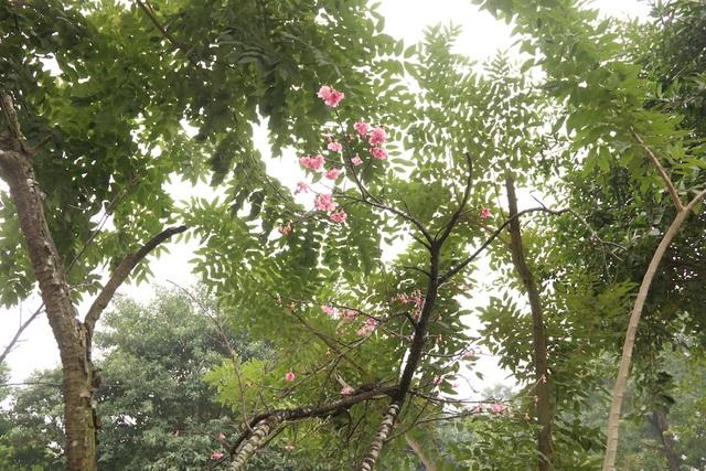 Ngắm hoa anh đào bung nở rực rỡ, khoe sắc trước Tết tại Hà Nội - 10