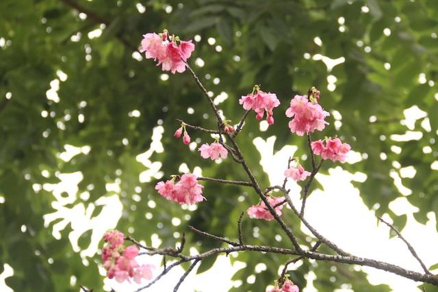 Ngắm hoa anh đào bung nở rực rỡ, khoe sắc trước Tết tại Hà Nội - 4