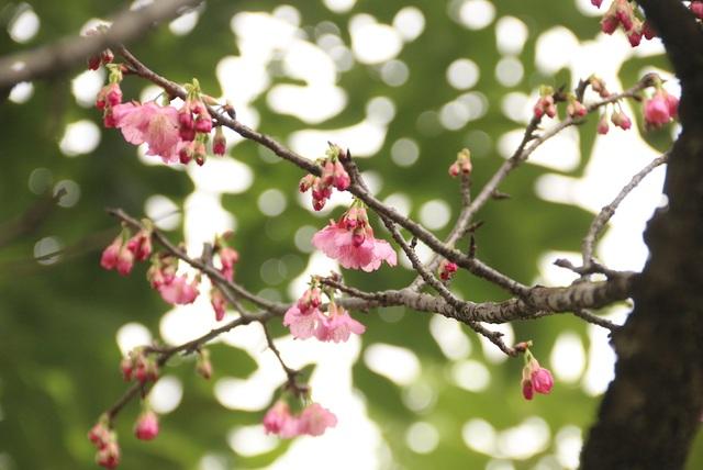 Ngắm hoa anh đào bung nở rực rỡ, khoe sắc trước Tết tại Hà Nội - 6